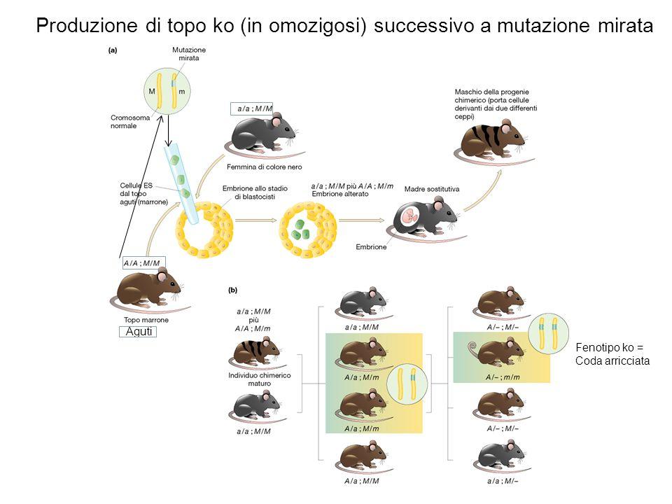 Produzione di topo ko (in omozigosi) successivo a mutazione mirata Aguti Fenotipo ko = Coda arricciata