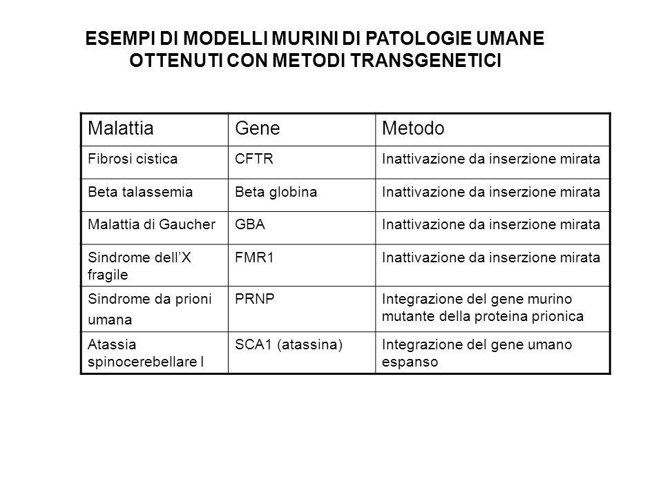 ESEMPI DI MODELLI MURINI DI PATOLOGIE UMANE OTTENUTI CON METODI TRANSGENETICI MalattiaGeneMetodo Fibrosi cisticaCFTRInattivazione da inserzione mirata