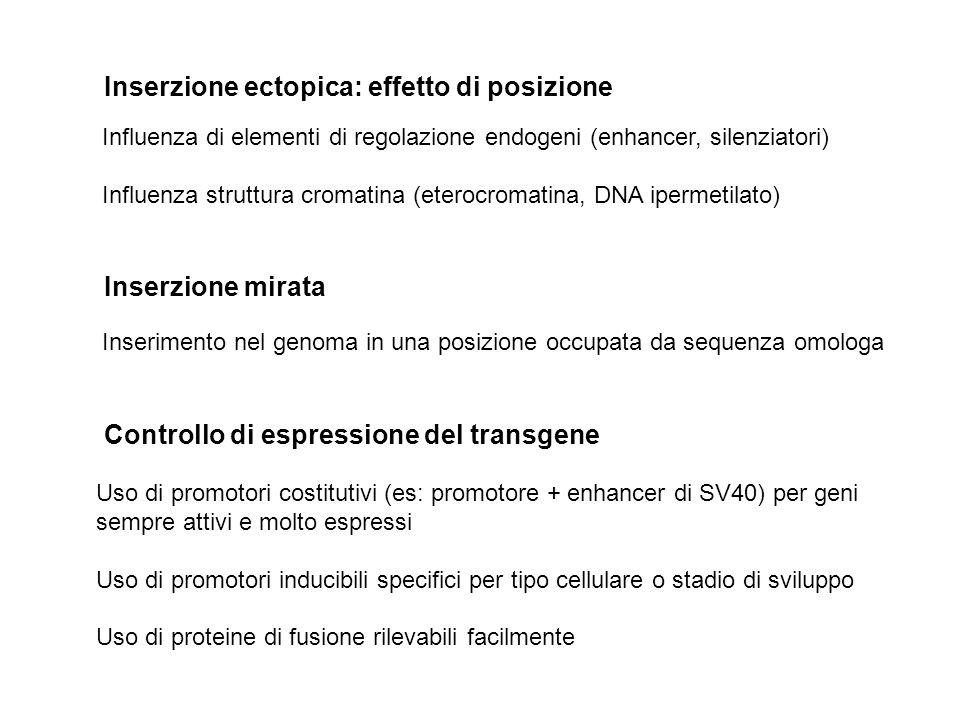 Inserzione ectopica: effetto di posizione Influenza di elementi di regolazione endogeni (enhancer, silenziatori) Influenza struttura cromatina (eteroc