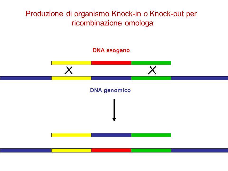DNA esogeno DNA genomico Produzione di organismo Knock-in o Knock-out per ricombinazione omologa
