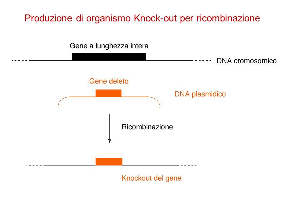 Produzione di organismo Knock-out per ricombinazione