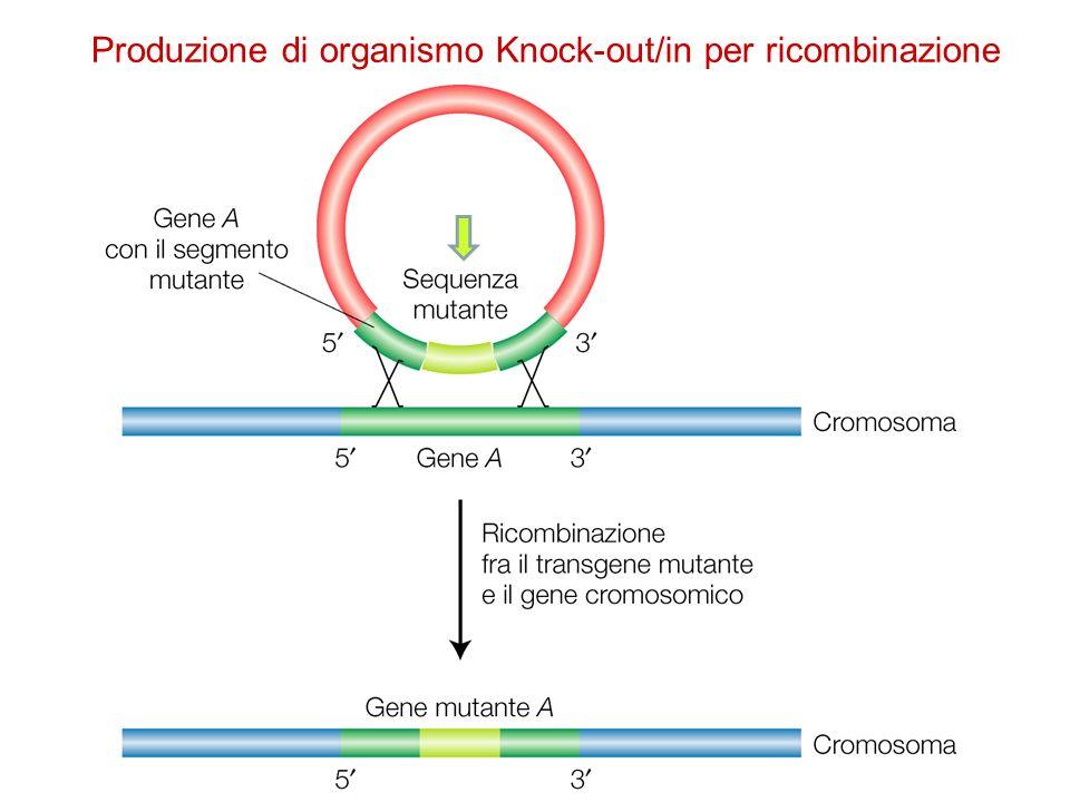 Produzione di organismo Knock-out/in per ricombinazione