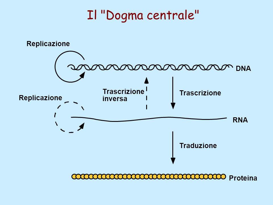 Trascrizione Traduzione Replicazione DNA RNA Proteina Il Dogma centrale Trascrizione inversa Replicazione