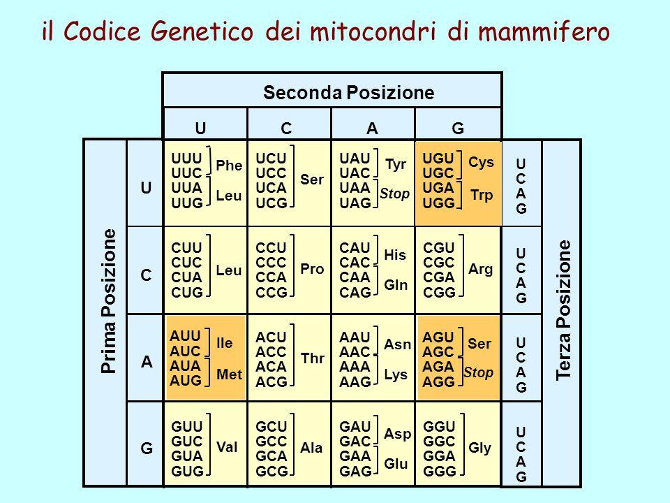 AUU AUC AUA AUG UGU UGC UGA UGG AGU AGC AGA AGG Ile Met Cys Ser Stop Trp il Codice Genetico dei mitocondri di mammifero