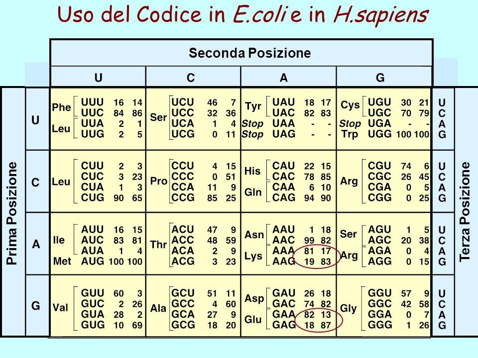Prima Posizione Seconda Posizione Terza Posizione Uso del Codice in E.coli e in H.sapiens