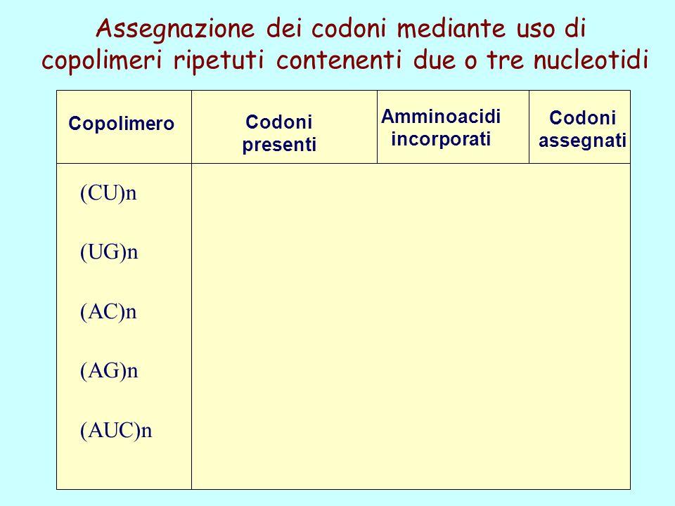 Copolimero Assegnazione dei codoni mediante uso di copolimeri ripetuti contenenti due o tre nucleotidi Codoni presenti Amminoacidi incorporati Codoni assegnati (CU)n (UG)n (AC)n (AG)n (AUC)n CUC/UCU/CUC...