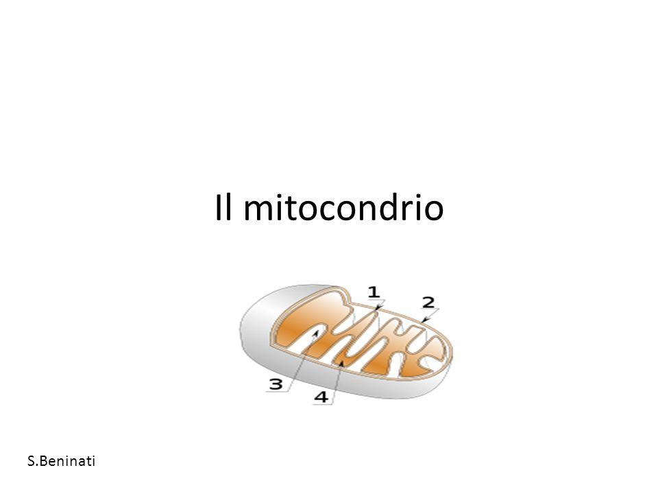 mitocondrio Un mitocondrio è un organulo cellulare di forma generalmente allungata (reniforme o a forma di fagiolo), presente in tutti gli eucarioti.