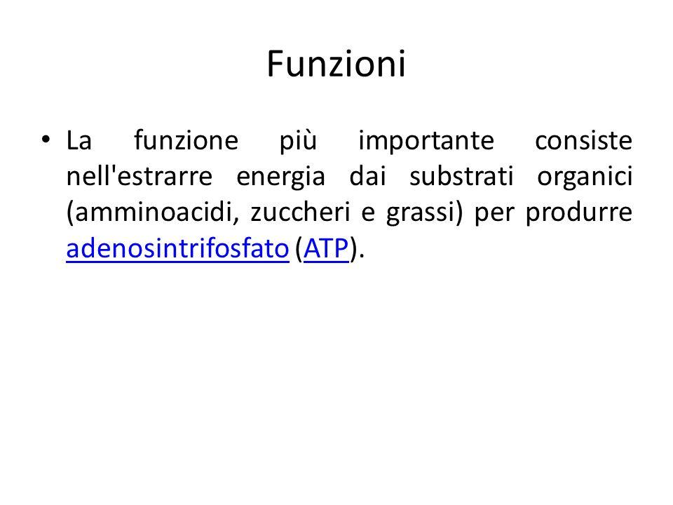 Funzioni La funzione più importante consiste nell'estrarre energia dai substrati organici (amminoacidi, zuccheri e grassi) per produrre adenosintrifos