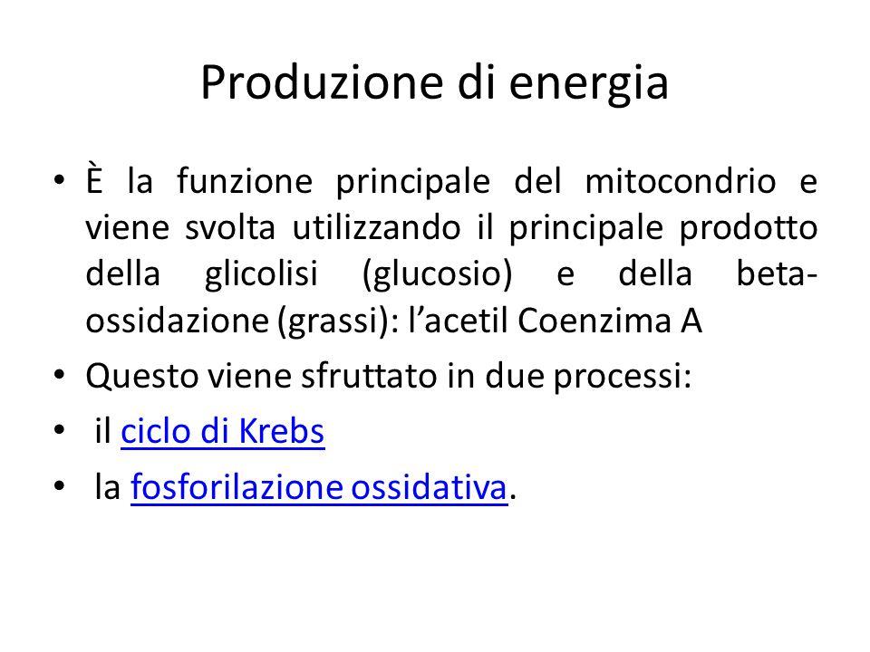 Produzione di energia È la funzione principale del mitocondrio e viene svolta utilizzando il principale prodotto della glicolisi (glucosio) e della be