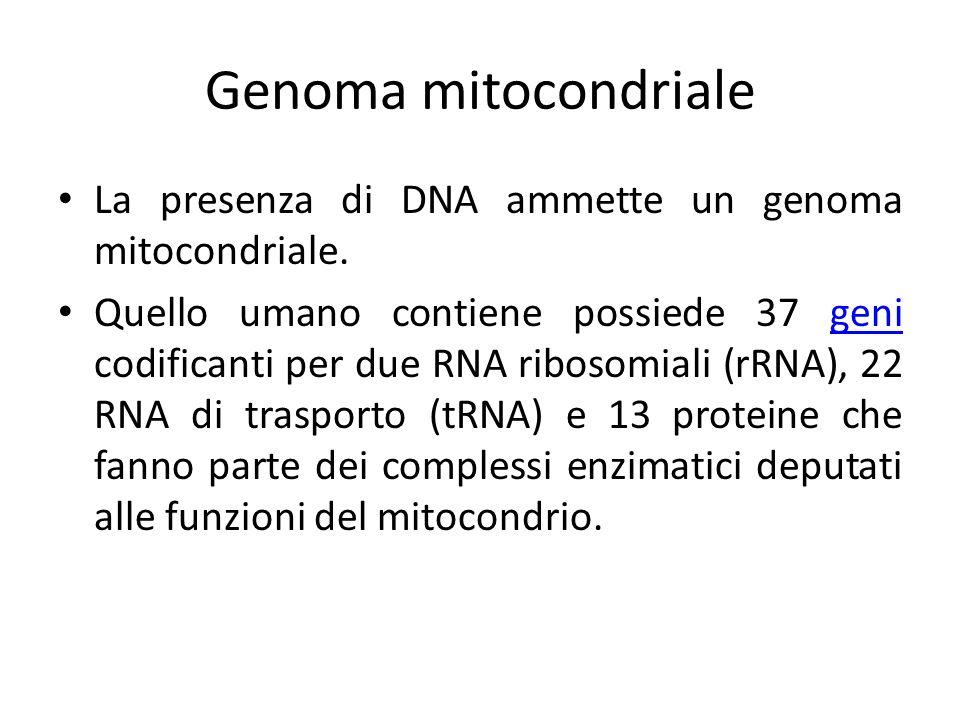 Genoma mitocondriale La presenza di DNA ammette un genoma mitocondriale. Quello umano contiene possiede 37 geni codificanti per due RNA ribosomiali (r