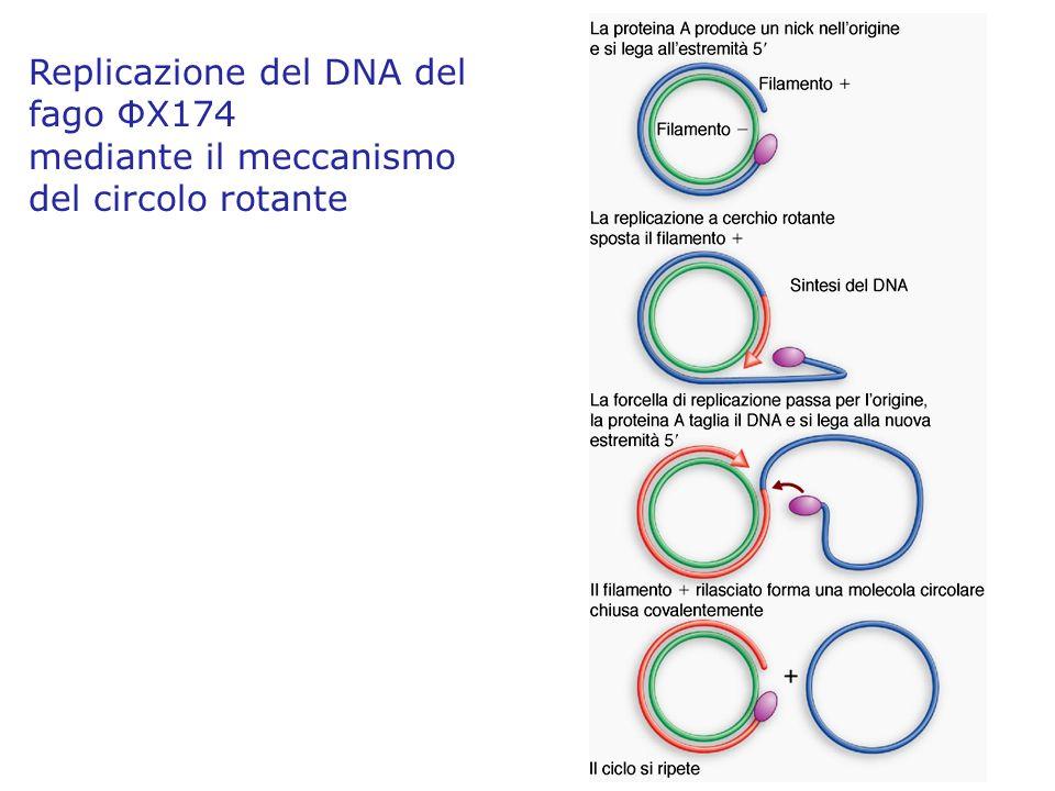 Replicazione del DNA del fago Φ X174 mediante il meccanismo del circolo rotante