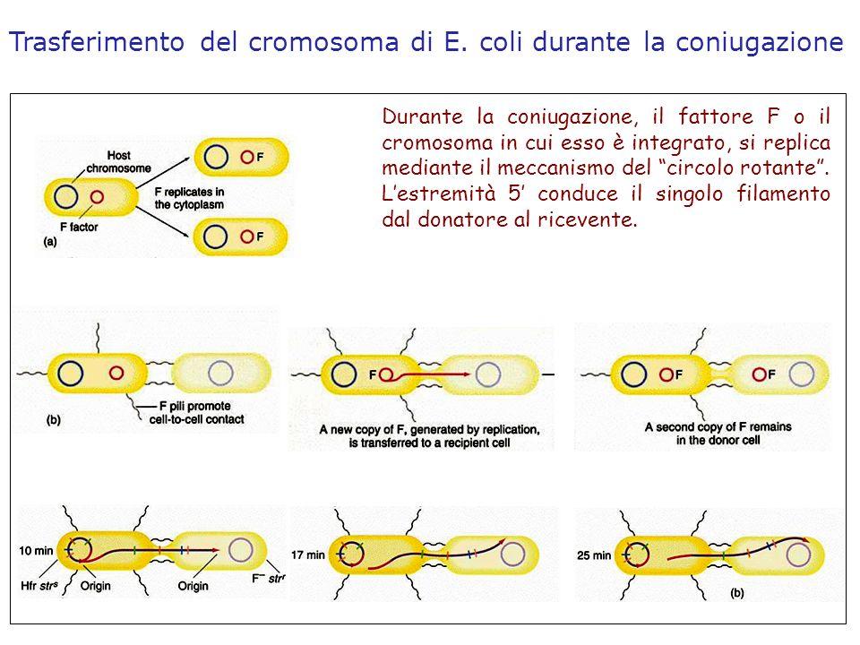 Durante la coniugazione, il fattore F o il cromosoma in cui esso è integrato, si replica mediante il meccanismo del circolo rotante. Lestremità 5 cond