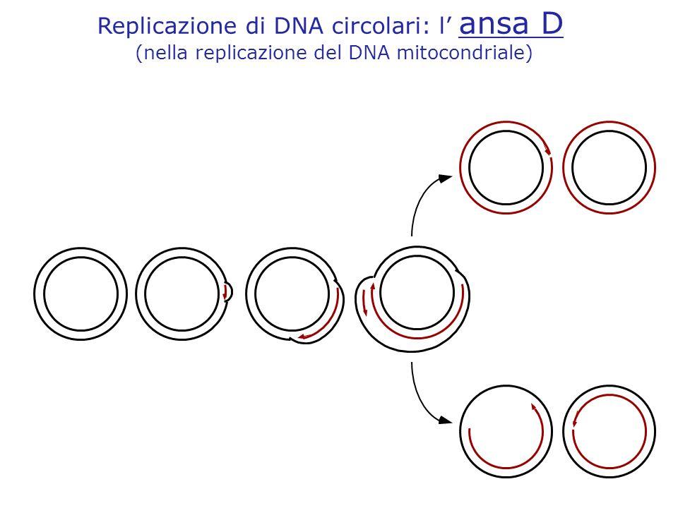 Replicazione di DNA circolari: l ansa D (nella replicazione del DNA mitocondriale)