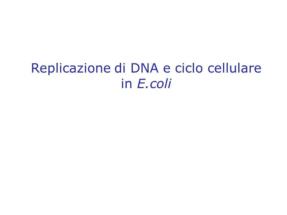 Replicazione di DNA e ciclo cellulare in E.coli