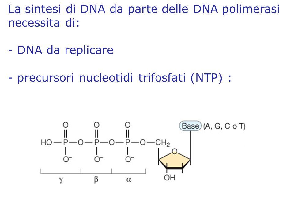La sintesi di DNA da parte delle DNA polimerasi necessita di: - DNA da replicare - precursori nucleotidi trifosfati (NTP) :
