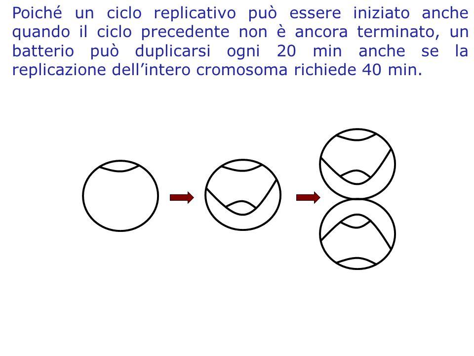 Poiché un ciclo replicativo può essere iniziato anche quando il ciclo precedente non è ancora terminato, un batterio può duplicarsi ogni 20 min anche