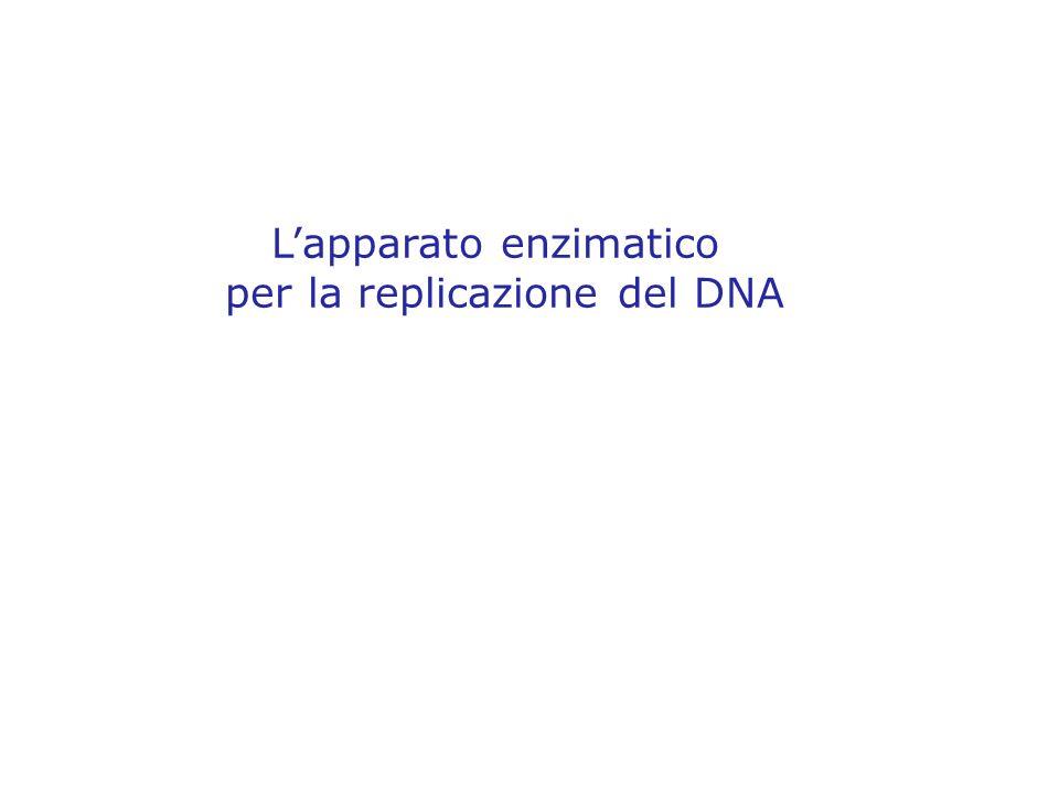 Lapparato enzimatico per la replicazione del DNA