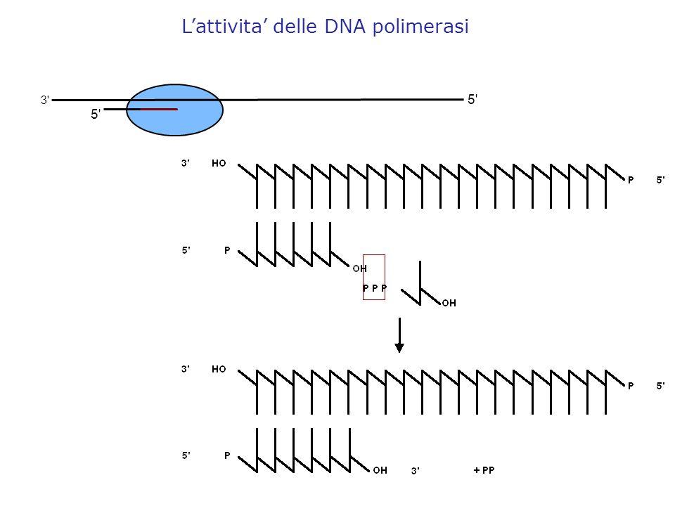 5' 3' Lattivita delle DNA polimerasi