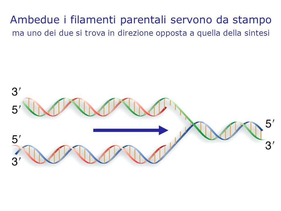 Ambedue i filamenti parentali servono da stampo ma uno dei due si trova in direzione opposta a quella della sintesi