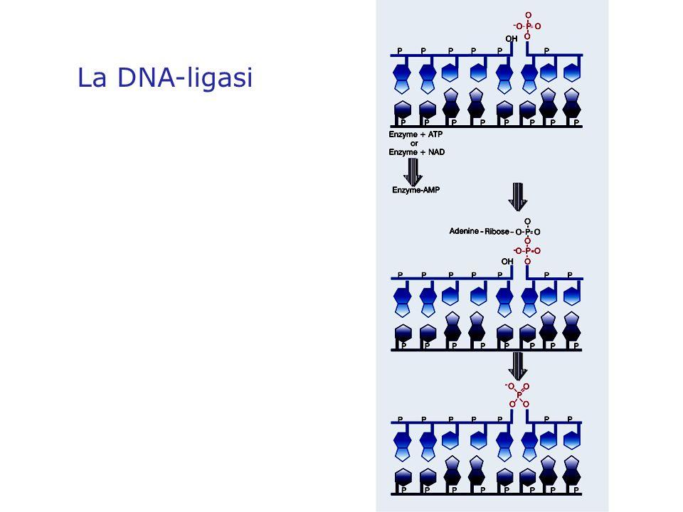 La DNA-ligasi