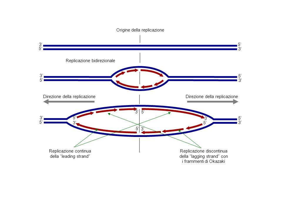 3 5 3 5 Origine della replicazione 3 5 3 5 3 3 5 3 5 Replicazione bidirezionale Direzione della replicazione Replicazione continua della leading stran
