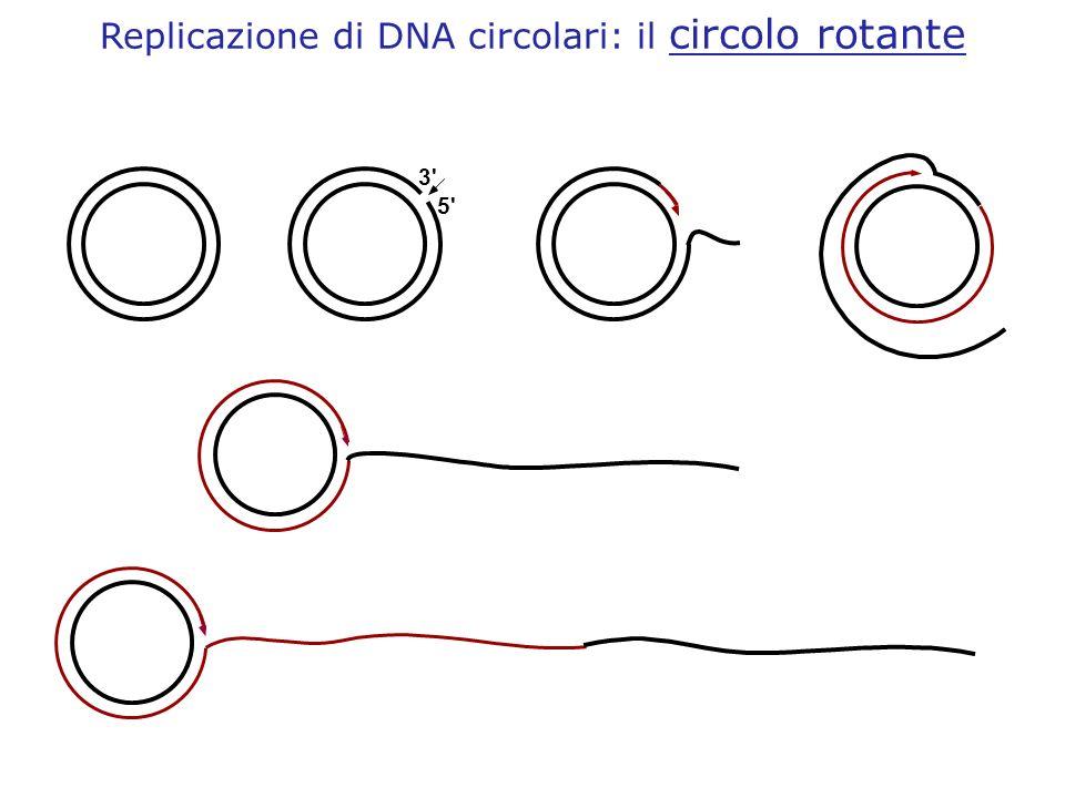 5' 3' Replicazione di DNA circolari: il circolo rotante