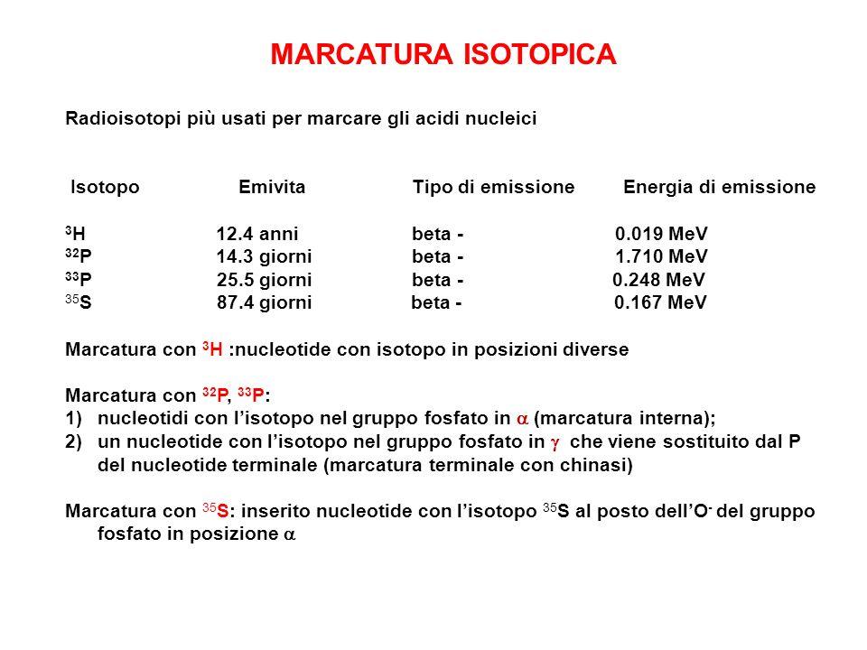 MARCATURA ISOTOPICA Radioisotopi più usati per marcare gli acidi nucleici IsotopoEmivitaTipo di emissione Energia di emissione 3 H 12.4 annibeta - 0.0