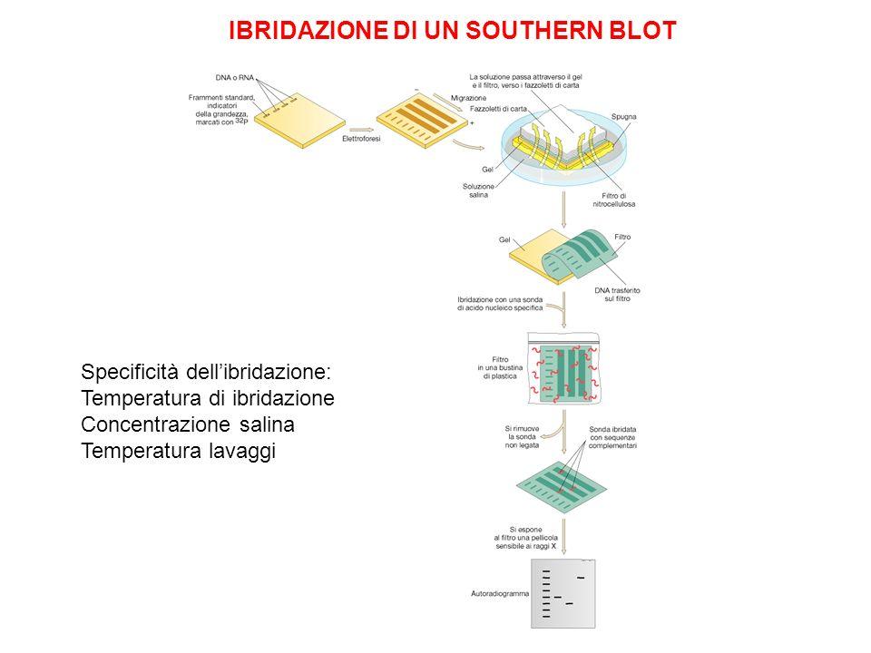 IBRIDAZIONE DI UN SOUTHERN BLOT Specificità dellibridazione: Temperatura di ibridazione Concentrazione salina Temperatura lavaggi
