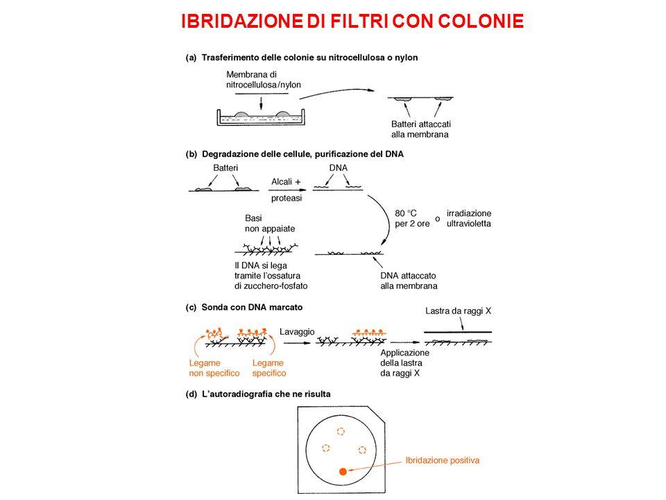 IBRIDAZIONE DI FILTRI CON COLONIE