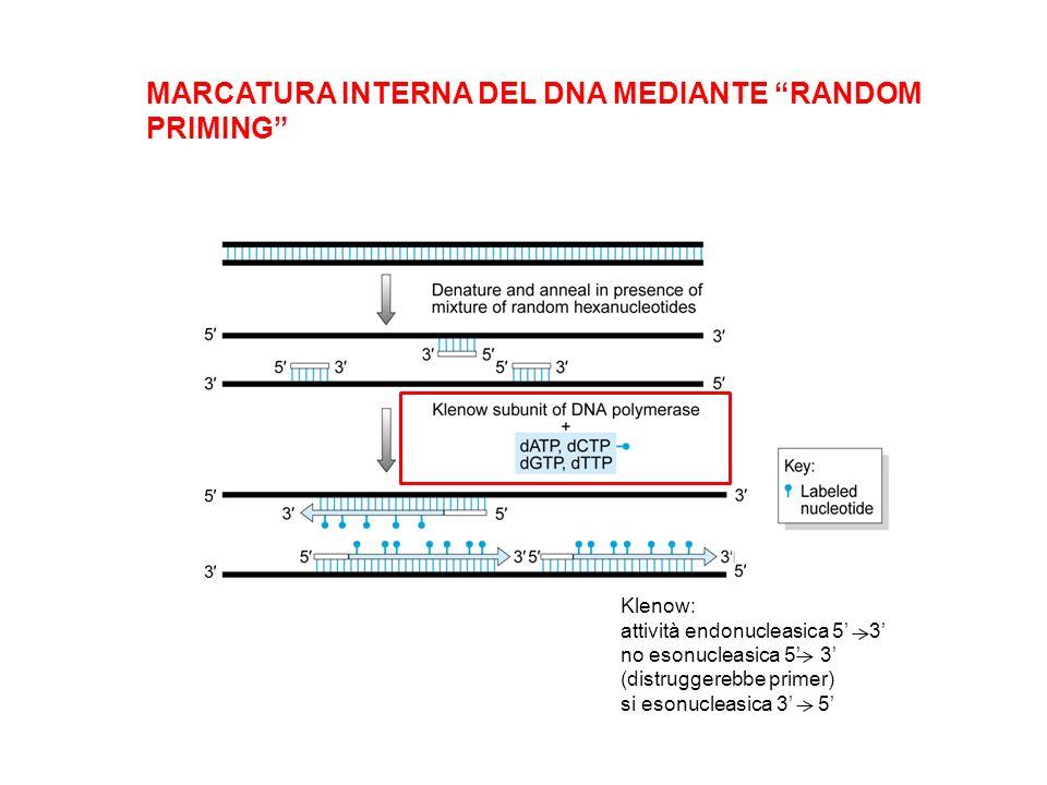 MARCATURA INTERNA DEL DNA MEDIANTE RANDOM PRIMING Klenow: attività endonucleasica 5 3 no esonucleasica 5 3 (distruggerebbe primer) si esonucleasica 3