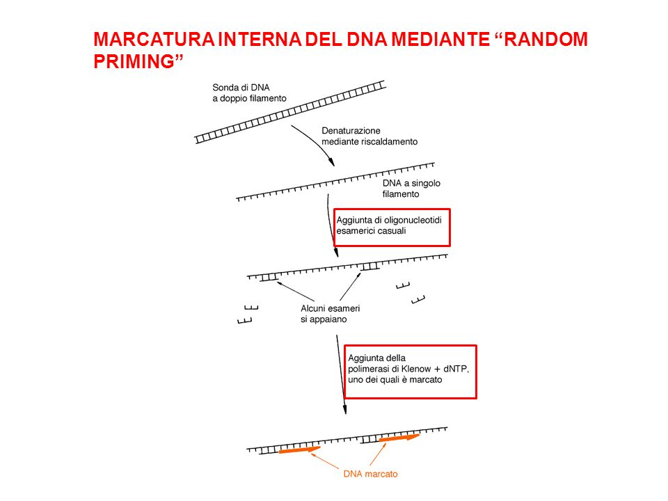 MARCATURA INTERNA DEL DNA MEDIANTE RANDOM PRIMING