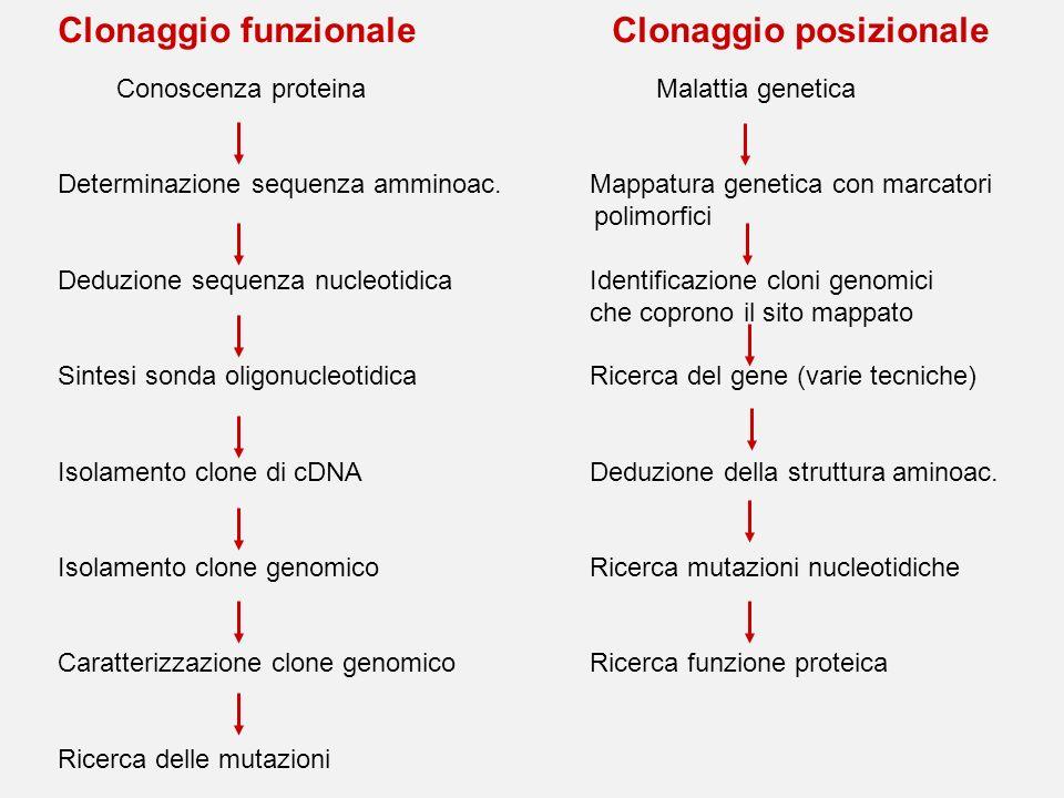 Clonaggio funzionale Clonaggio posizionale Conoscenza proteina Malattia genetica Determinazione sequenza amminoac.Mappatura genetica con marcatori pol