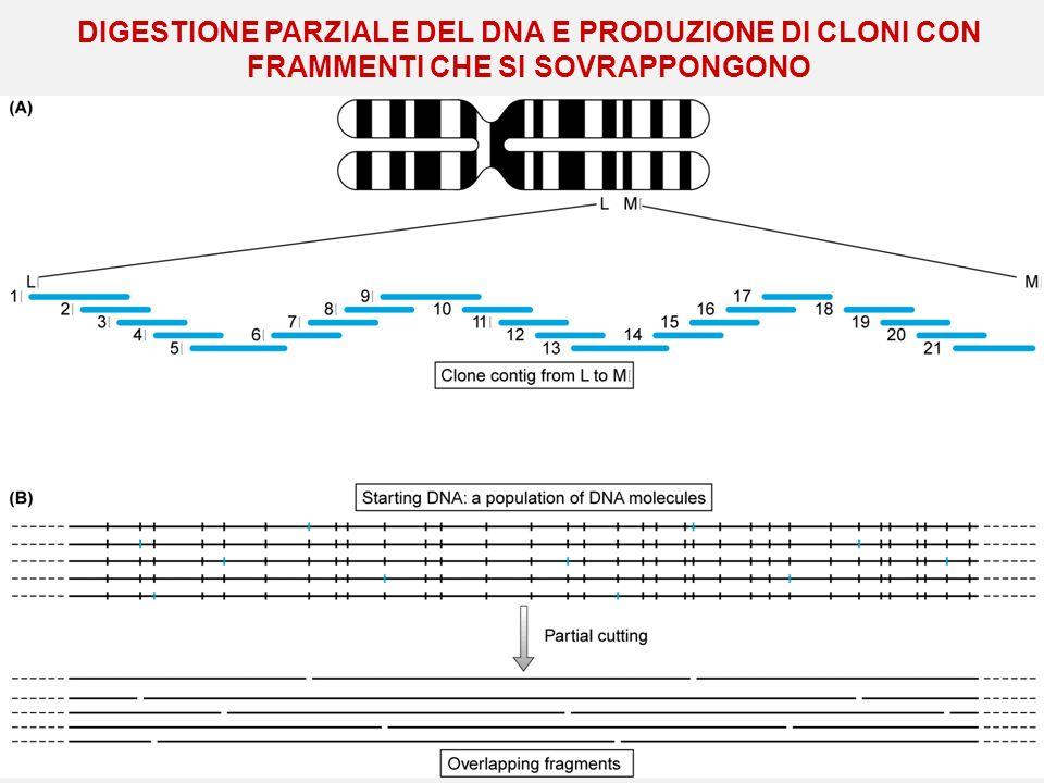DIGESTIONE PARZIALE DEL DNA E PRODUZIONE DI CLONI CON FRAMMENTI CHE SI SOVRAPPONGONO