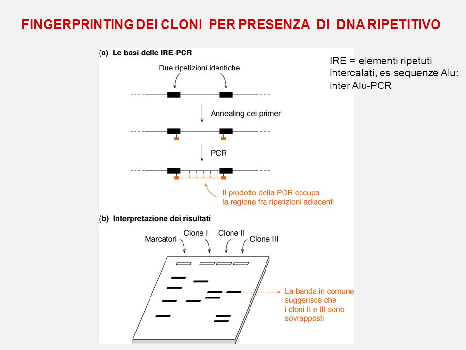FINGERPRINTING DEI CLONI PER PRESENZA DI DNA RIPETITIVO IRE = elementi ripetuti intercalati, es sequenze Alu: inter Alu-PCR