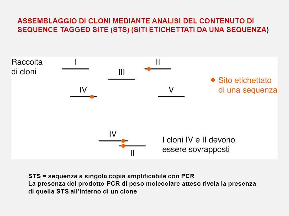 ASSEMBLAGGIO DI CLONI MEDIANTE ANALISI DEL CONTENUTO DI SEQUENCE TAGGED SITE (STS) (SITI ETICHETTATI DA UNA SEQUENZA) STS = sequenza a singola copia a