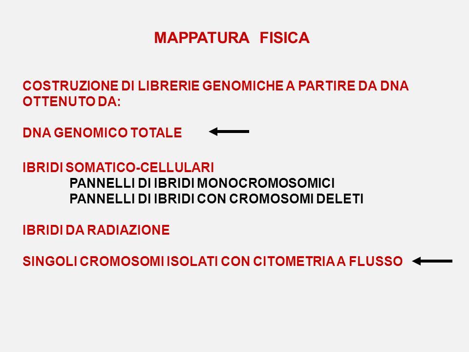 MAPPATURA FISICA COSTRUZIONE DI LIBRERIE GENOMICHE A PARTIRE DA DNA OTTENUTO DA: DNA GENOMICO TOTALE IBRIDI SOMATICO-CELLULARI PANNELLI DI IBRIDI MONO