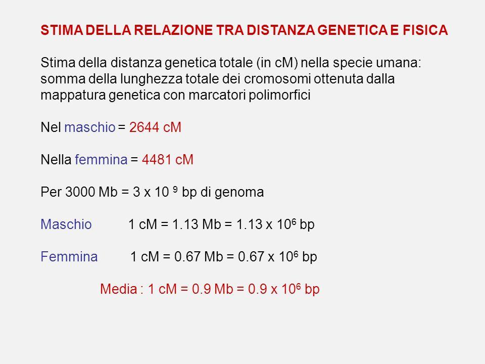 STIMA DELLA RELAZIONE TRA DISTANZA GENETICA E FISICA Stima della distanza genetica totale (in cM) nella specie umana: somma della lunghezza totale dei