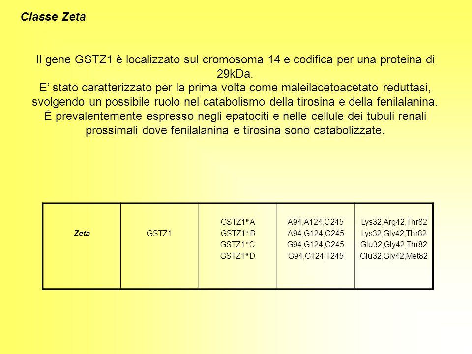 Classe Zeta Il gene GSTZ1 è localizzato sul cromosoma 14 e codifica per una proteina di 29kDa. E stato caratterizzato per la prima volta come maleilac
