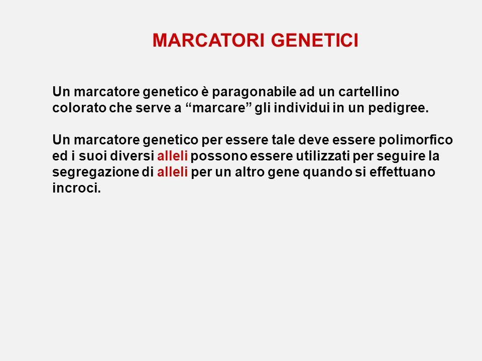MARCATORI GENETICI Un marcatore genetico è paragonabile ad un cartellino colorato che serve a marcare gli individui in un pedigree. Un marcatore genet