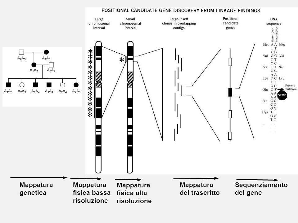 Mappatura genetica Mappatura fisica bassa risoluzione Mappatura fisica alta risoluzione Mappatura del trascritto Sequenziamento del gene