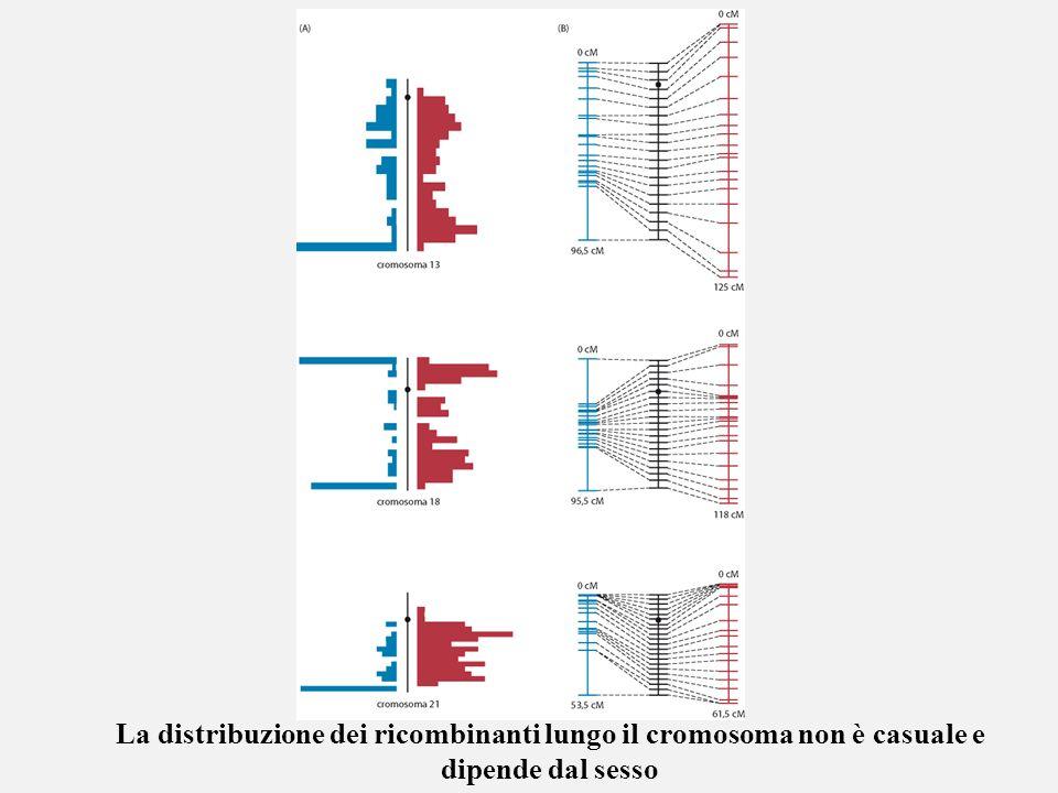 La distribuzione dei ricombinanti lungo il cromosoma non è casuale e dipende dal sesso