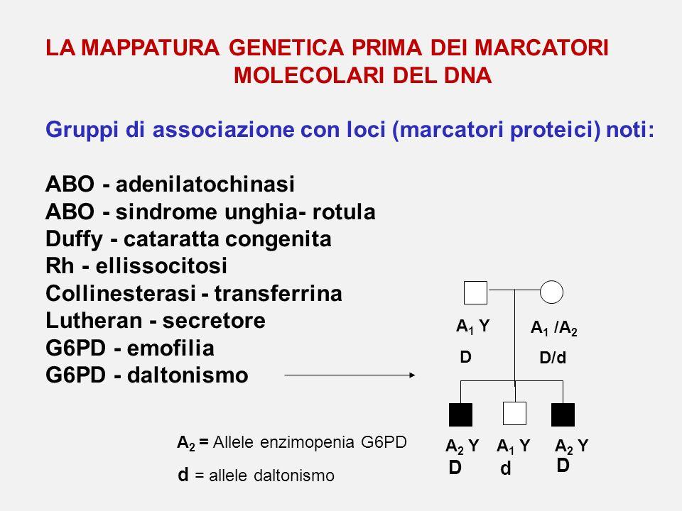 LA MAPPATURA GENETICA PRIMA DEI MARCATORI MOLECOLARI DEL DNA Gruppi di associazione con loci (marcatori proteici) noti: ABO - adenilatochinasi ABO - s