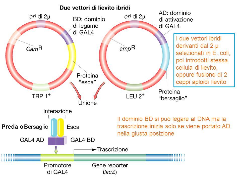 I due vettori ibridi derivanti dal 2 µ selezionati in E. coli, poi introdotti stessa cellula di lievito, oppure fusione di 2 ceppi aploidi lievito Il