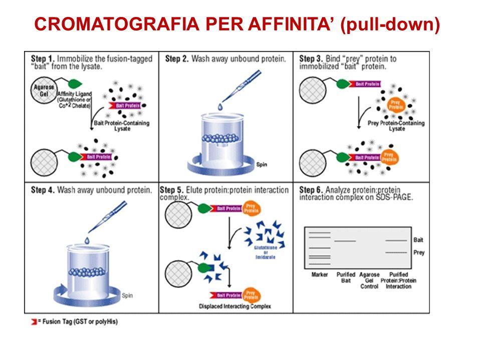 CROMATOGRAFIA PER AFFINITA (pull-down)