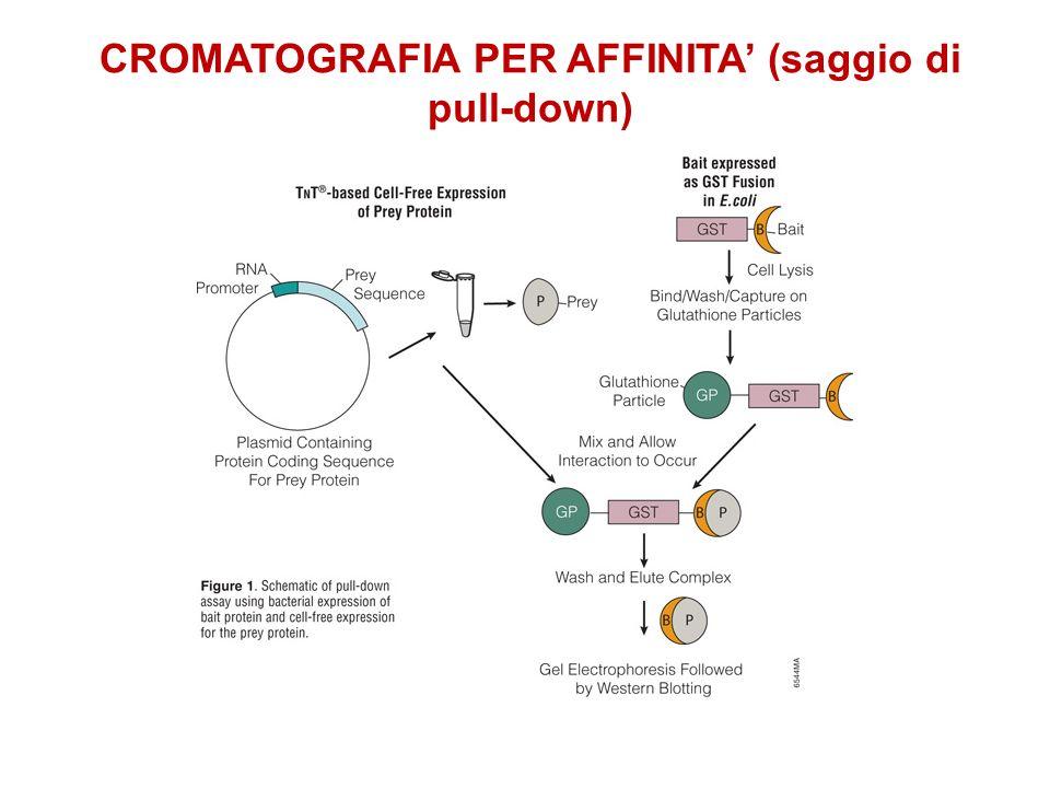 CROMATOGRAFIA PER AFFINITA (pull down) Tag = GST Colonna con Glutatione Analisi della/e proteina: digestione proteolitica e spettrometria di massa Una esca cattura un complesso proteico