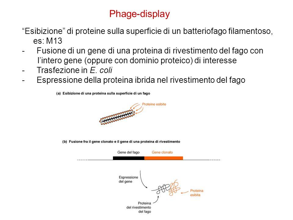 Phage-display Esibizione di proteine sulla superficie di un batteriofago filamentoso, es: M13 -Fusione di un gene di una proteina di rivestimento del