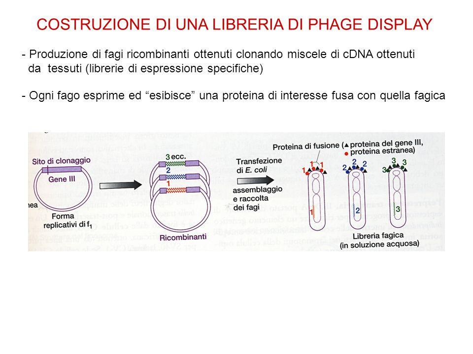 COSTRUZIONE DI UNA LIBRERIA DI PHAGE DISPLAY - Produzione di fagi ricombinanti ottenuti clonando miscele di cDNA ottenuti da tessuti (librerie di espr