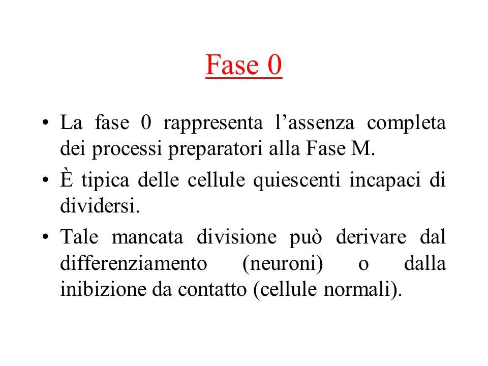 Fase 0 La fase 0 rappresenta lassenza completa dei processi preparatori alla Fase M.