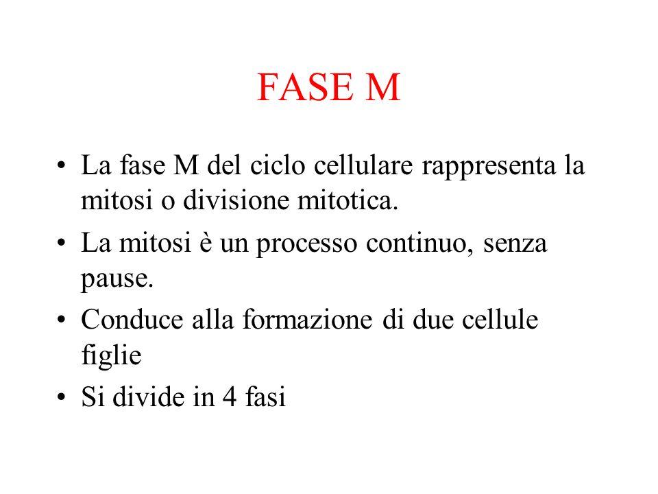 FASE M La fase M del ciclo cellulare rappresenta la mitosi o divisione mitotica. La mitosi è un processo continuo, senza pause. Conduce alla formazion