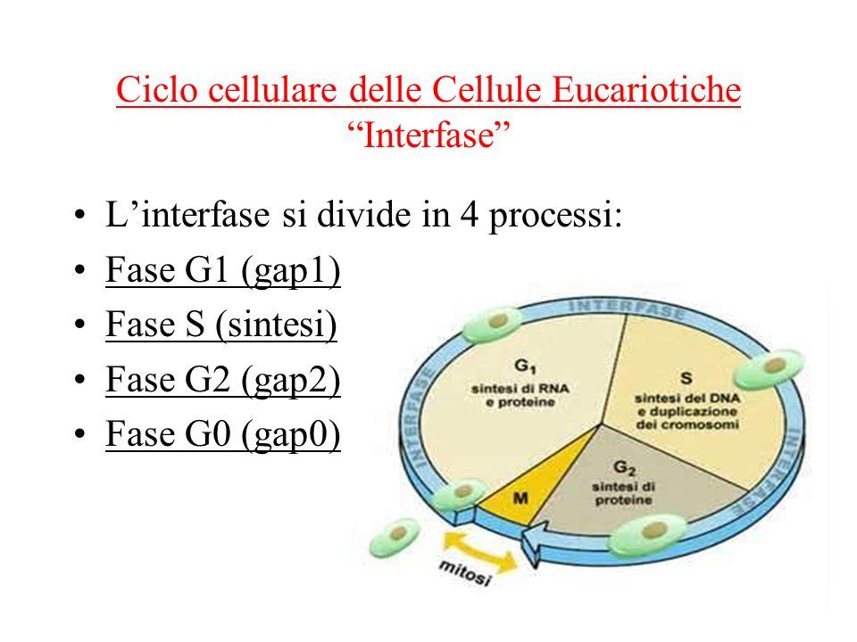 Ciclo cellulare delle Cellule Eucariotiche Interfase Linterfase si divide in 4 processi: Fase G1 (gap1) Fase S (sintesi) Fase G2 (gap2) Fase G0 (gap0)